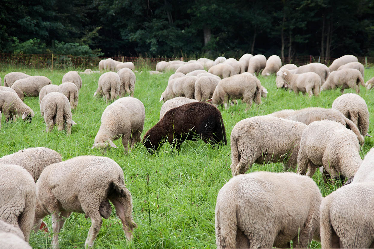Group of white sheeps and 1 black sheep